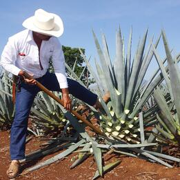 The History of Tequila_ Harvesting Blue Agave – Haskells